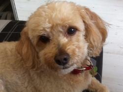 Austin, chien Caniche
