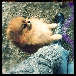 Automne, chien Spitz allemand