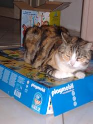 Auxine, chat Européen