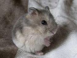 Avalon , rongeur Hamster