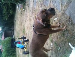 Avane, chien Cane Corso