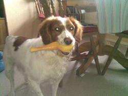 Avanne, chien Épagneul breton