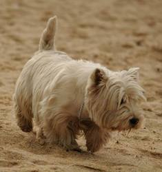 Avast , chien West Highland White Terrier