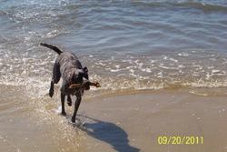 Avery, chien Braque allemand à poil court