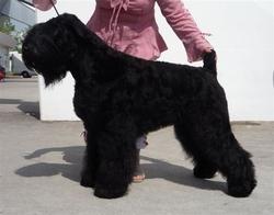 Avis Rara Primadonna, chien Terrier noir russe
