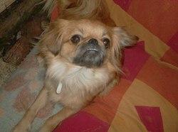 Avril, chien Pékinois