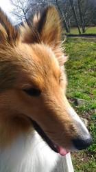 Ragnar, chien Berger des Shetland