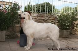 Awai Du Bois Du Frêne, chien Chien de montagne des Pyrénées