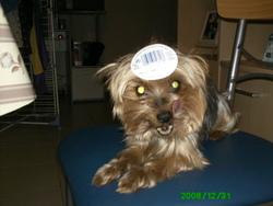 Axa, chien Yorkshire Terrier