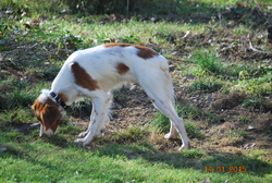 Axa, chien Épagneul breton