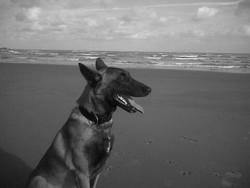 Axel, chien Berger belge