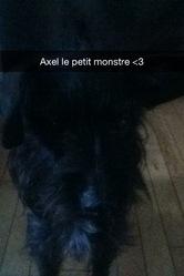 Axel, chien Schnauzer