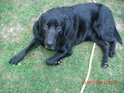Axel, chien Labrador Retriever