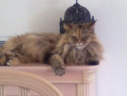 Axelle, chat Persan