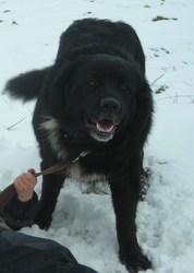 Axelle, chien Terre-Neuve