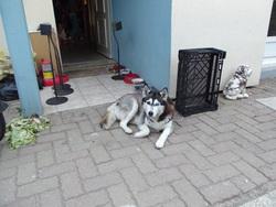 Axia, chien Husky sibérien