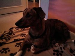 Aya, chien Cane Corso