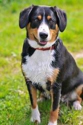 Aya, chien Bouvier de l'Entlebuch
