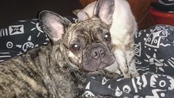 Aya, chien Bouledogue français