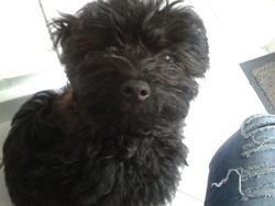 Aya, chien Caniche