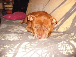 Aya, chien American Staffordshire Terrier