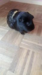 Ayato, rongeur Cochon d'Inde