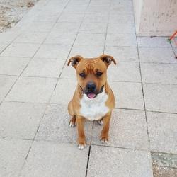 Ayden, chien American Staffordshire Terrier