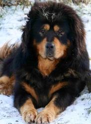 Ayko, chien Dogue du Tibet