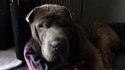 Ayko, chien Shar Pei