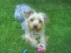 Ayko, chien Yorkshire Terrier