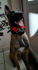 Ayron, chien Berger belge