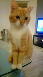 Azael, chat Européen
