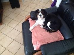 Azalee, chien Cavalier King Charles Spaniel