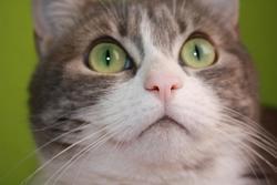 Azalée, chat Européen