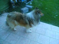 Azalée, chien Colley à poil long