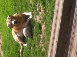 Azar, chien Labrador Retriever