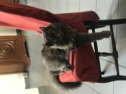 Azbine, chat Européen