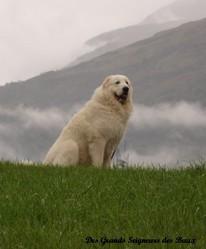 Azerac Du Val De Montserrat, chien Chien de montagne des Pyrénées