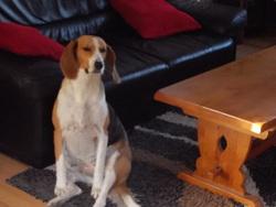Azia, chien Beagle