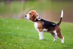 Azpilicueta, chien Beagle