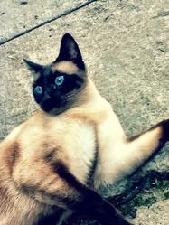 Azur, chat Siamois