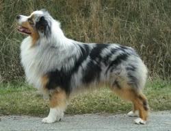 Azur, chien Berger australien