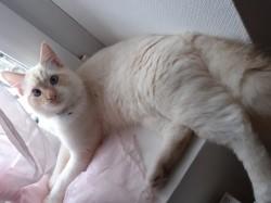 Azur, chaton Siamois