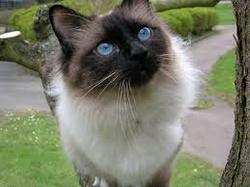 Azur, chat Birman