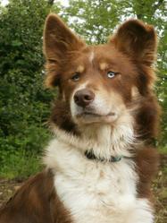 Azur, chien