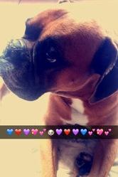 Azur, chien Boxer