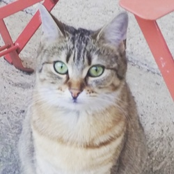 Azur, chat Gouttière