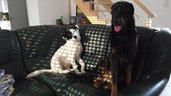 Azur, chien Beauceron