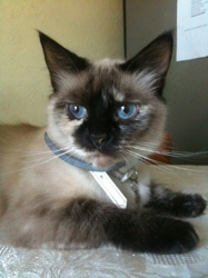 Azure, chat Birman