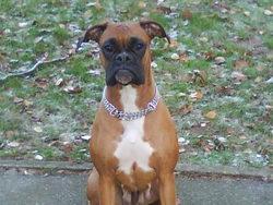 Azya, chien Boxer